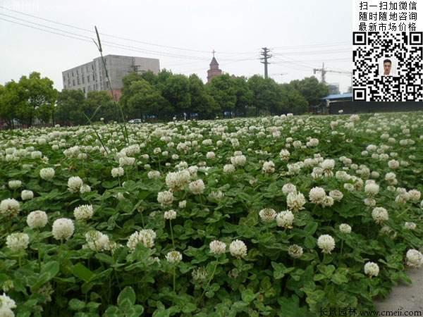 白三叶公园绿化