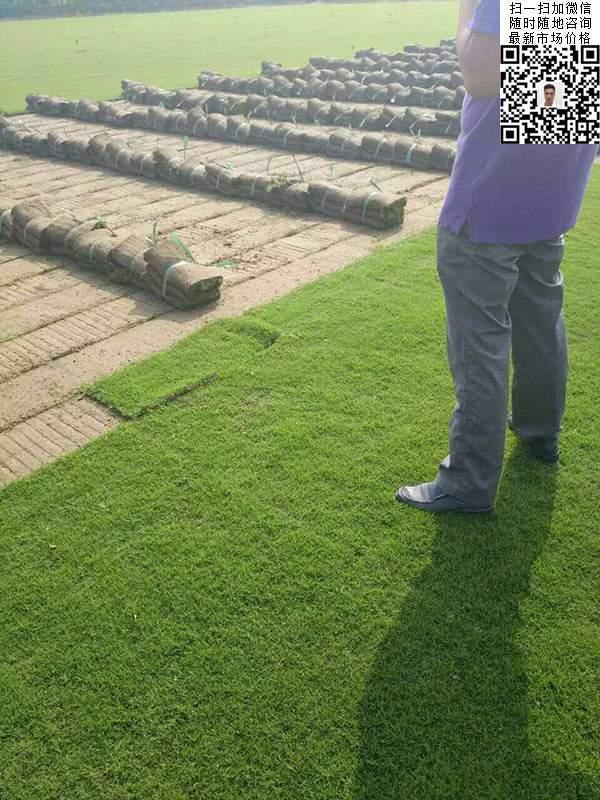 结缕草种子种植草坪