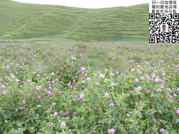 红三叶草种子种植山坡绿化效果