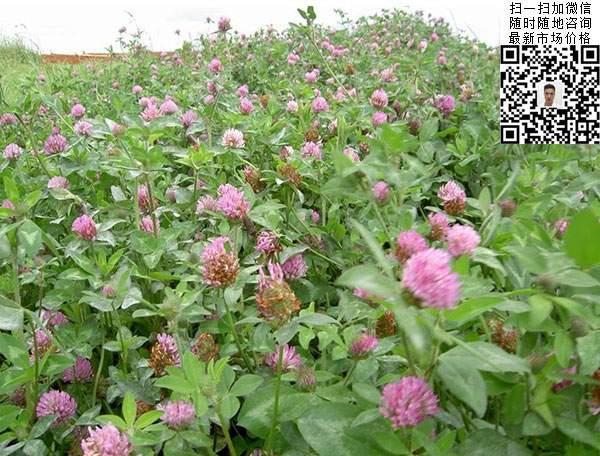 红三叶草种子种植3月的效果