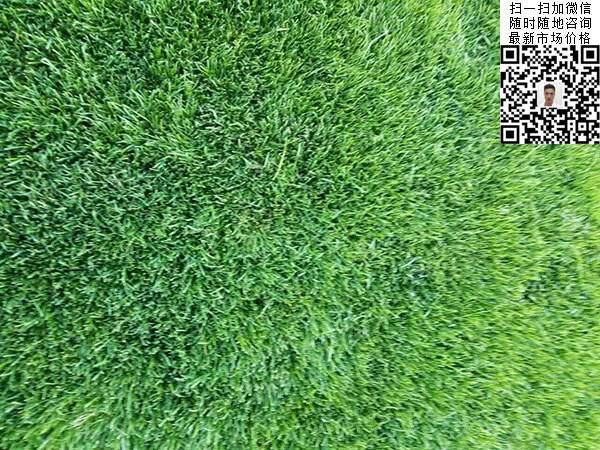 早熟禾草坪种子种植出的效果