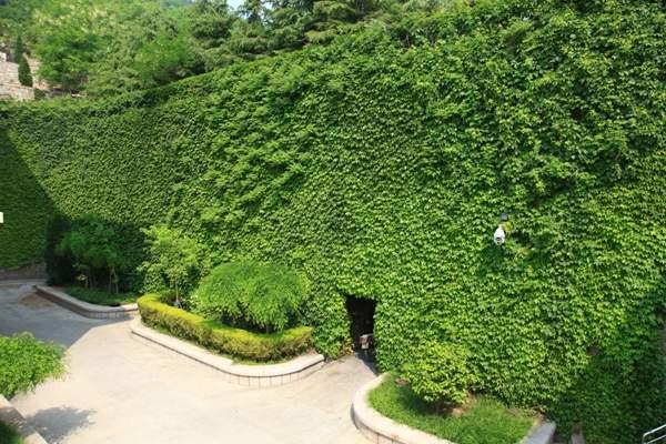 爬山虎围成的绿墙