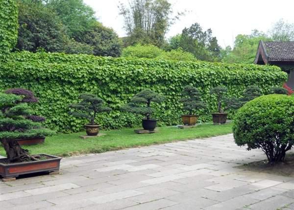 爬山虎围成的绿篱墙