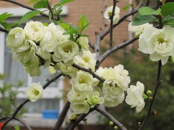 白色的贴梗海棠花