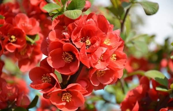 日本贴梗海棠花