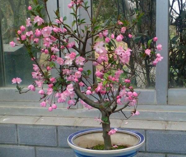 木瓜海棠盆景