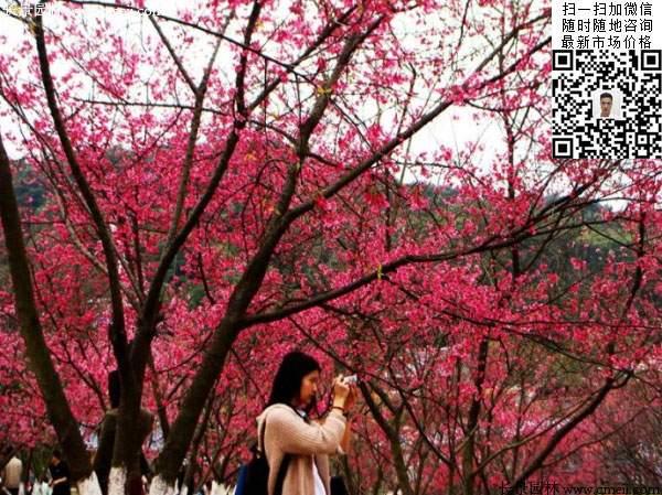 旅游景区开红色花的樱花树