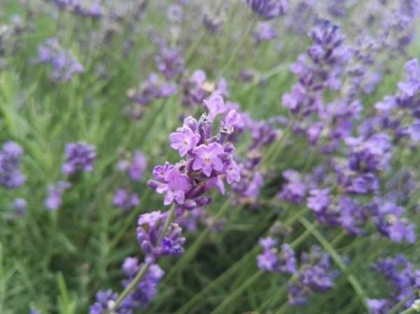 紫色薰衣草花海