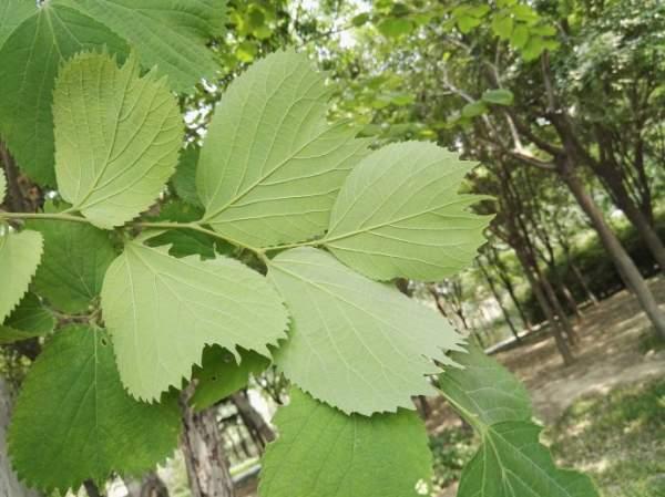 【图解】大叶朴树和榆树的区别图片