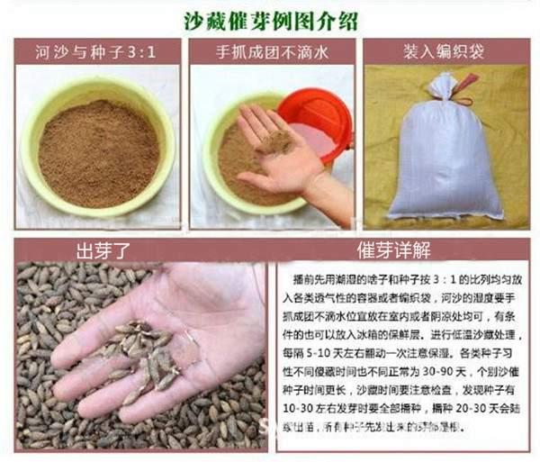沙藏催芽处理-长景园林