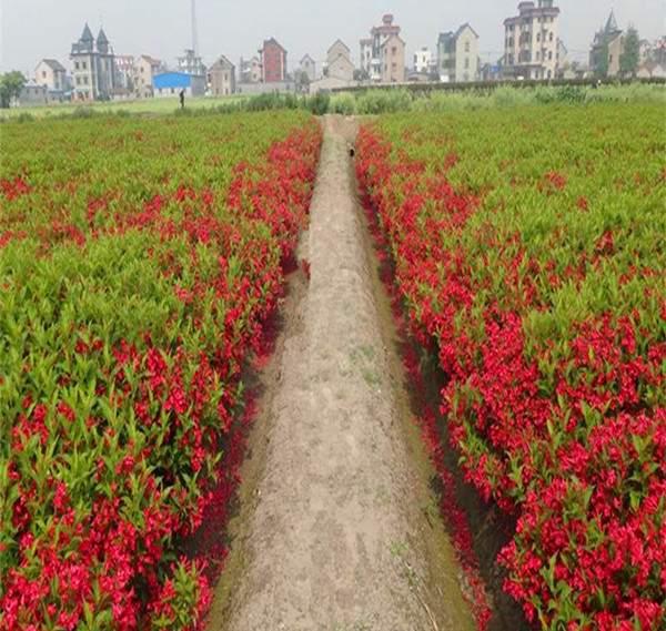 红王子锦带基地--长景园林