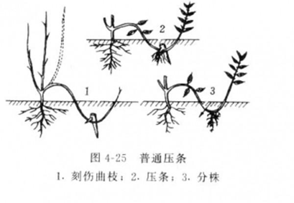 压条分株繁殖--长景园林