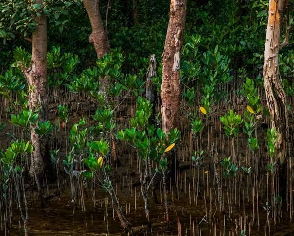 红树植物的海桑呼吸根