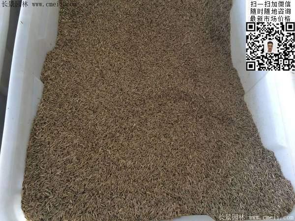一年生黑麦草种子