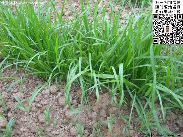 一年生黑麦草种子种植不久