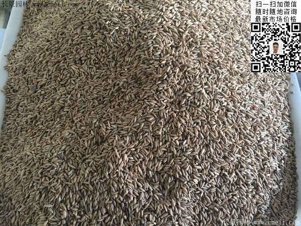 冬牧70黑麦草种子