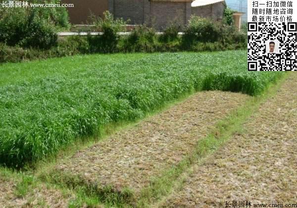 冬牧70黑麦草冬季实拍图