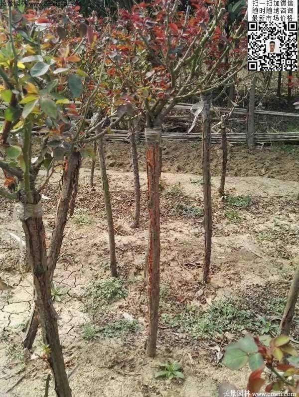 月季树状月季花基地