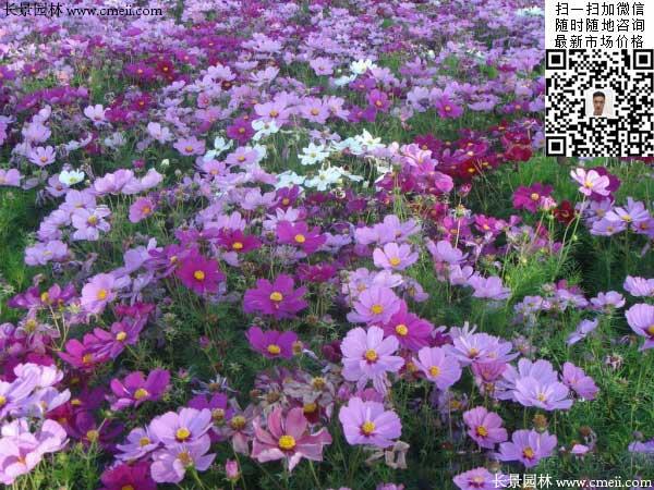 大花波斯菊种子种植几月开花效果图片