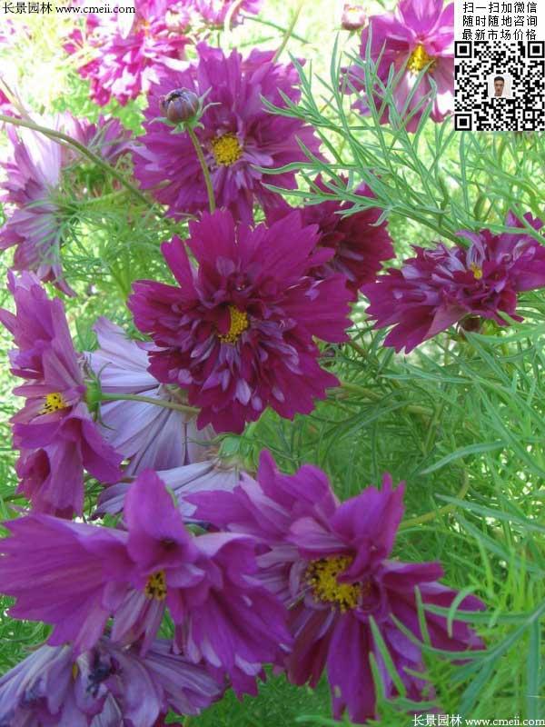 重瓣大花波斯菊种子种植2月开花效果图片