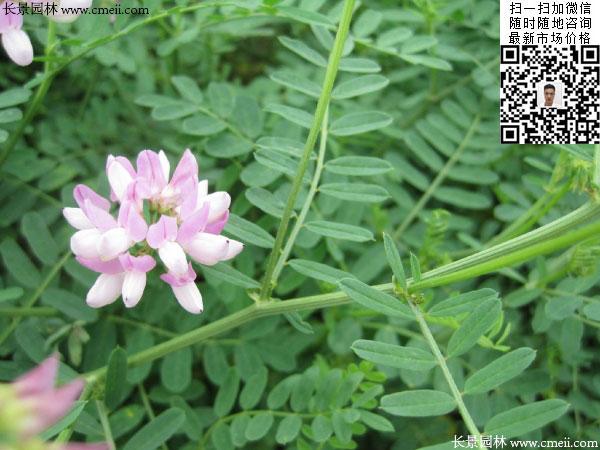 怎样做种子纯度鉴定_发芽温度:13~32度   生长温度:15~35   品种纯度:100%   种子净度