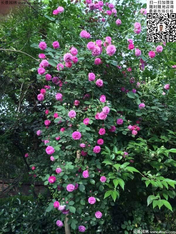 粉团蔷薇花苗