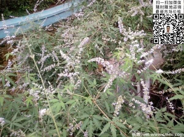 荆条种植基地小苗植物