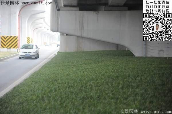 常绿地被草本花卉植物丹麦草图片