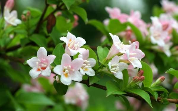 美丽锦带花