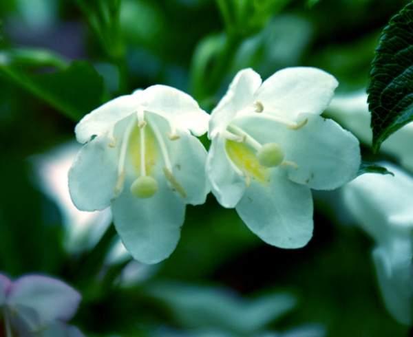白花锦带花