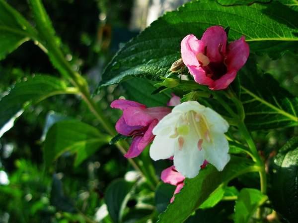 变色锦带花