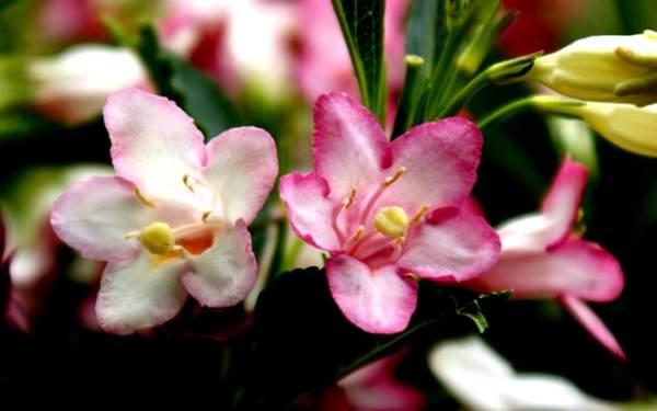 花叶锦带花