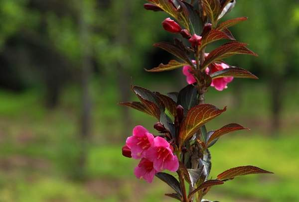 紫叶锦带花
