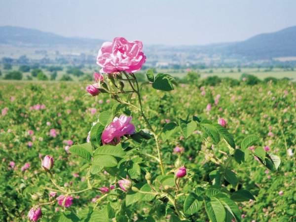保加利亚玫瑰