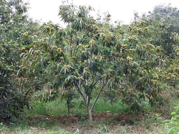 栗子树图片栗子树基地实拍