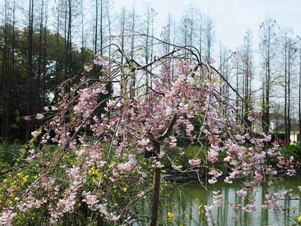垂枝樱园林应用
