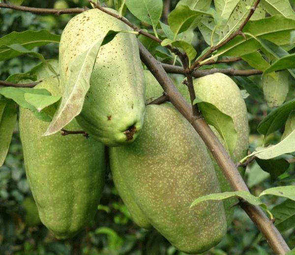 木瓜海棠--长景园林