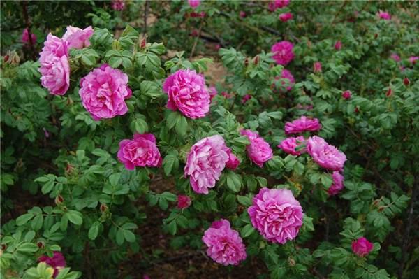 平阴玫瑰--长景园林
