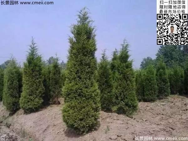 常绿松柏植物塔柏图片