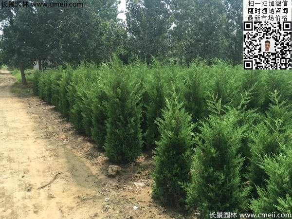 公路绿化植物常绿松柏圆柏图片