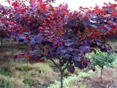 红叶加拿大紫荆