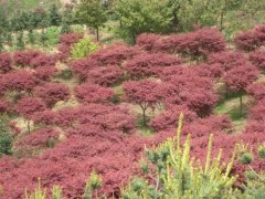 红叶羽毛枫