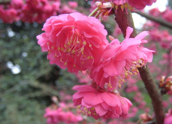 山樱花--长景园林