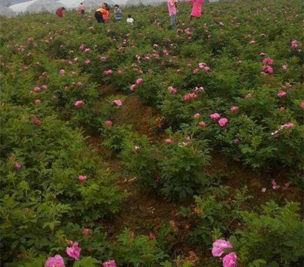 食用玫瑰基地--长景园林