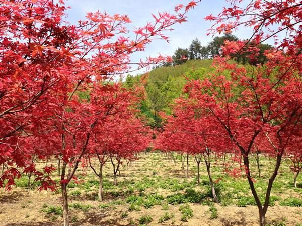 日本红枫--长景园林