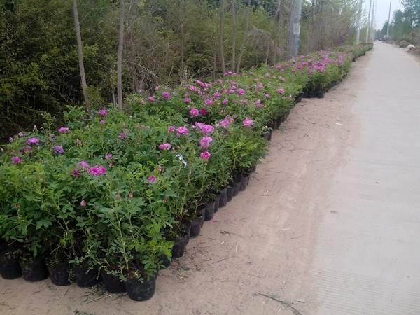 四季玫瑰基地--长景园林