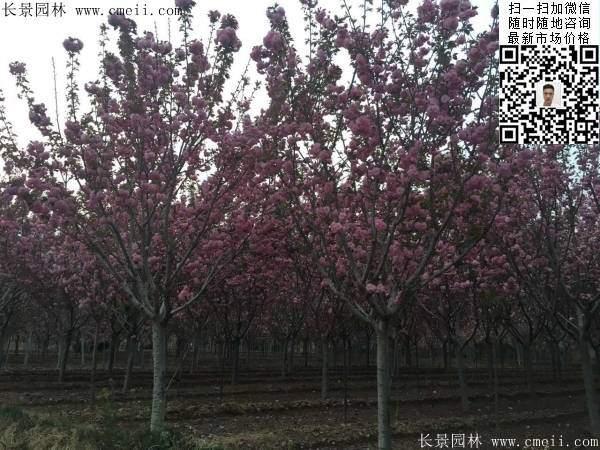 日本樱花图片沭阳日本樱花基地