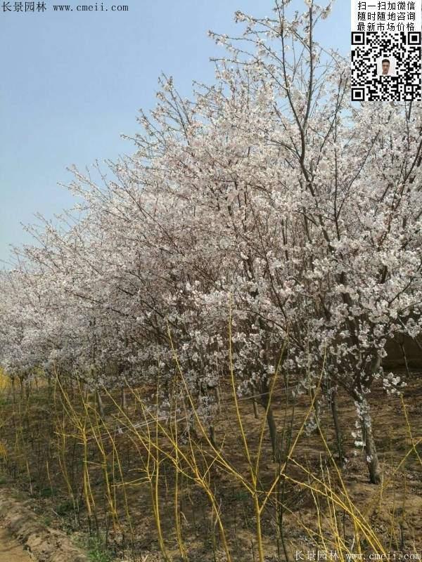 染井吉野樱花图片
