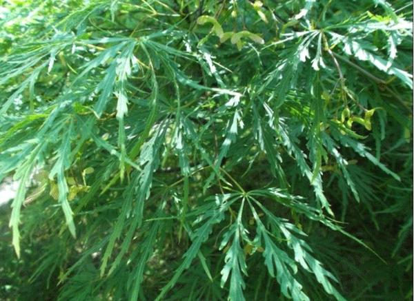 羽毛槭--长景园林