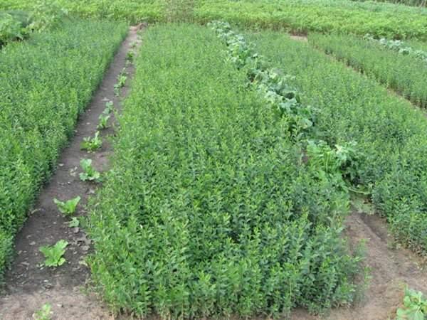 水腊水蜡种子发芽出苗图片